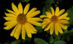 Topinambur Bluete gelb Helianthus tuberosus 03
