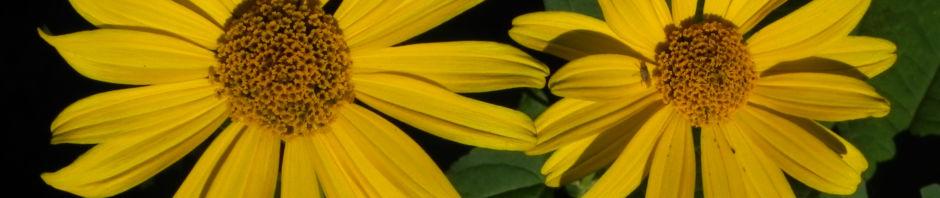 topinambur-bluete-gelb-blatt-gruen-helianthus-tuberosus