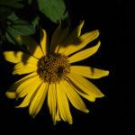 Topinambur Bluete gelb Helianthus tuberosus 04