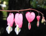 Traenendes Herz Bluete pink weiss Lamprocapnos spectabilis 05