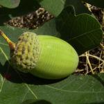 Trauben Eiche Eichel Quercus petraea 03