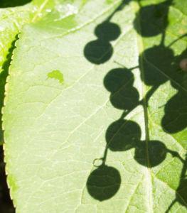 Trauben Holunder Strauch Beeren schwarz Sambucus racemosa 02
