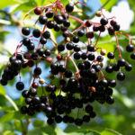 Trauben Holunder Strauch Beeren schwarz Sambucus racemosa 04