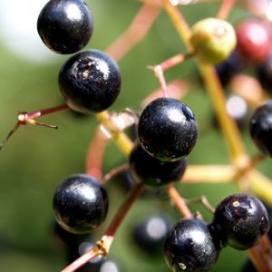 Trauben Holunder Strauch Beeren schwarz Sambucus racemosa 12