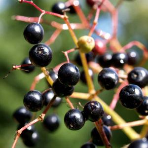Trauben Holunder Strauch Beeren schwarz Sambucus racemosa 14