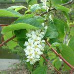 Trauben Kirsche Prunus padus 01