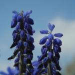 Traubenhyazinthe Bluete blau Muscari chalusicum 17