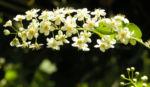 Traubenkirsche Bluetendolden weiss Prunus pubigera 01