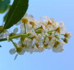 Traubenkirsche Bluetendolden weiss Prunus pubigera 02