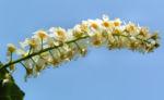 Traubenkirsche Bluetendolden weiss Prunus pubigera 06