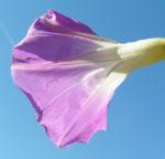 Trichterwinde Prachtwinde Blueten lila Ipomoea tricolor 01