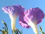 Trichterwinde Prachtwinde Blueten lila Ipomoea tricolor 05