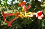 Trompetenblume Bluete rot Campsis radicans 06
