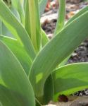 Tulpe Blatt gruen Tulipa 03
