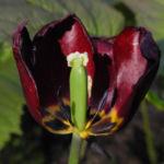Tulpe Bluete dunkelrot Tulipa 10