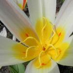 Tulpe Bluete gelb rot Tulipa 04