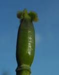 Tulpe Stempel gruen Tulipa 01