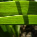 Tulpe gelb rote Punkte Tulipa 06