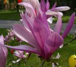 Tulpen Magnolie Baum Bluete rosa Magnolia x soulangiana 05
