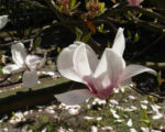 Tulpen Magnolie Baum Bluete weiss rose Magnolia x soulangiana 06