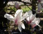 Tulpen Magnolie Baum Bluete weiss rose Magnolia x soulangiana 09
