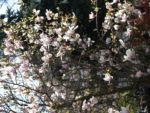 Tulpen Magnolie Baum Bluete weiss rose Magnolia x soulangiana 14