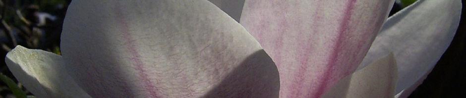 tulpen-magnolie-bluete-weiss-rose-magnolia-x-soulangiana