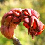 Tulpen Magnolie Frucht rot Blatt gelblich Magnolia x soulangiana 09