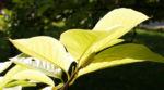 Tulpen Magnolie Frucht rot Blatt gelblich Magnolia x soulangiana 16