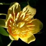 Tulpenbaum Bluete gelb gruen Liriodendron tulipifera 13