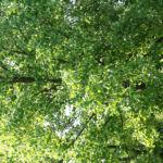 Tulpenbaum Bluete gelb gruen Liriodendron tulipifera 17