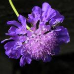 Ungarische Witwenblume Bluete lila Knautia drymeia 30