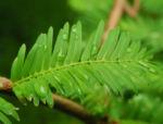 Urweltmammutbaum Nadel gruen Metasequoia glyptostroboides 10