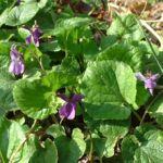 Veilchen wohlriechend Viola odorata 04