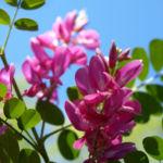 Verschiedenbluetiger Indigo Strauch Bluete pink Indigofera heterantha 04