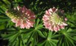 Vielblaettrige Lupine Bluete rose Lupinus polyphyllus 07
