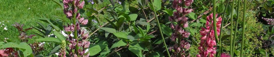 vielblaettrige-lupine-bluete-rot-orange-lupinus-polyphyllus