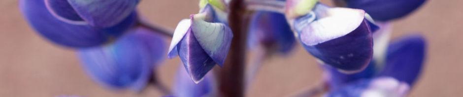 vielblaettrige-lupine-bluete-violett-lupinus-polyphyllus