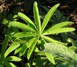 Vielblaettrige Lupinie Blatt gruen Bluete lila Lupinus polyphyllus 01