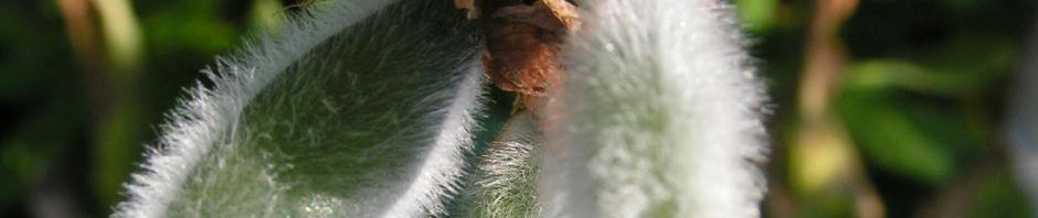 vielblaettrige-lupine-blatt-gruen-bluete-lila-lupinus-polyphyllus