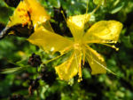 Vielblaettriges Johanniskraut Bluete gelb Hypericum polyphyllum 01