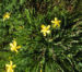 Zurück zum kompletten Bilderset Vielblättriges Johanniskraut Hypericum polyphyllum