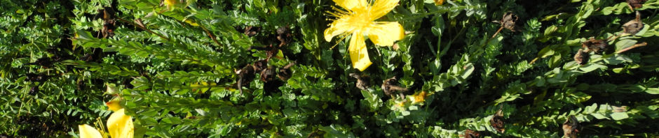 vielblaettriges-johanniskraut-hypericum-polyphyllum