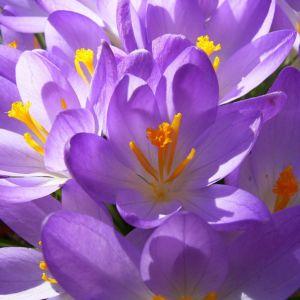 Violetter Safran Crocus neapolitanus 05