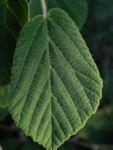 Virginische Zaubernuss Blatt gruen Hamamelis virginiana 10