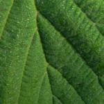 Virginische Zaubernuss Blatt gruen Hamamelis virginiana 11