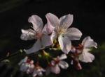 Vogel Kirsche Bluete weiss Prunus avium 06