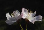Vogel Kirsche Bluete weiss Prunus avium 07
