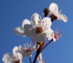 Vogel Kirsche Bluete weiss Prunus avium 08