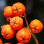 Vogelbeere Eberesche Baum Fruechte orange rot Sorbus aucuparia 03